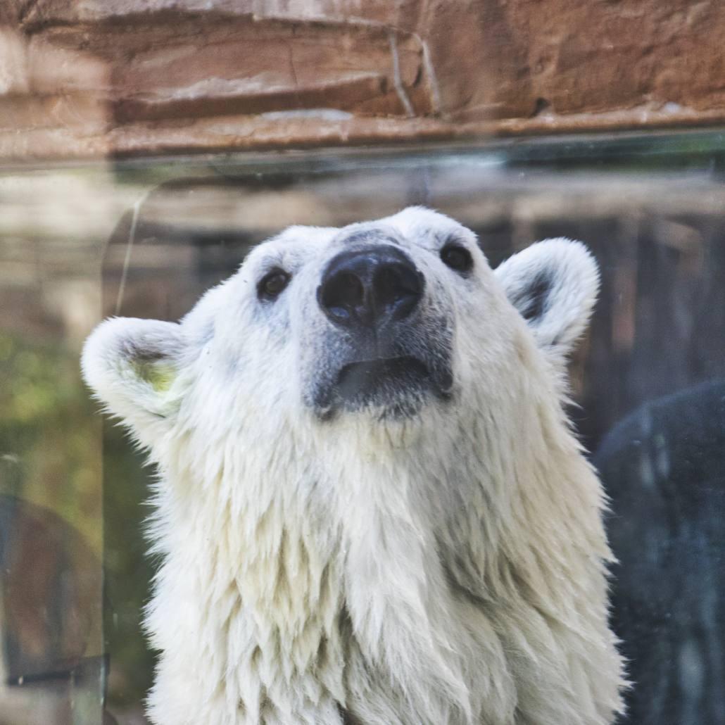 Eisbär im Pekinger Zoo