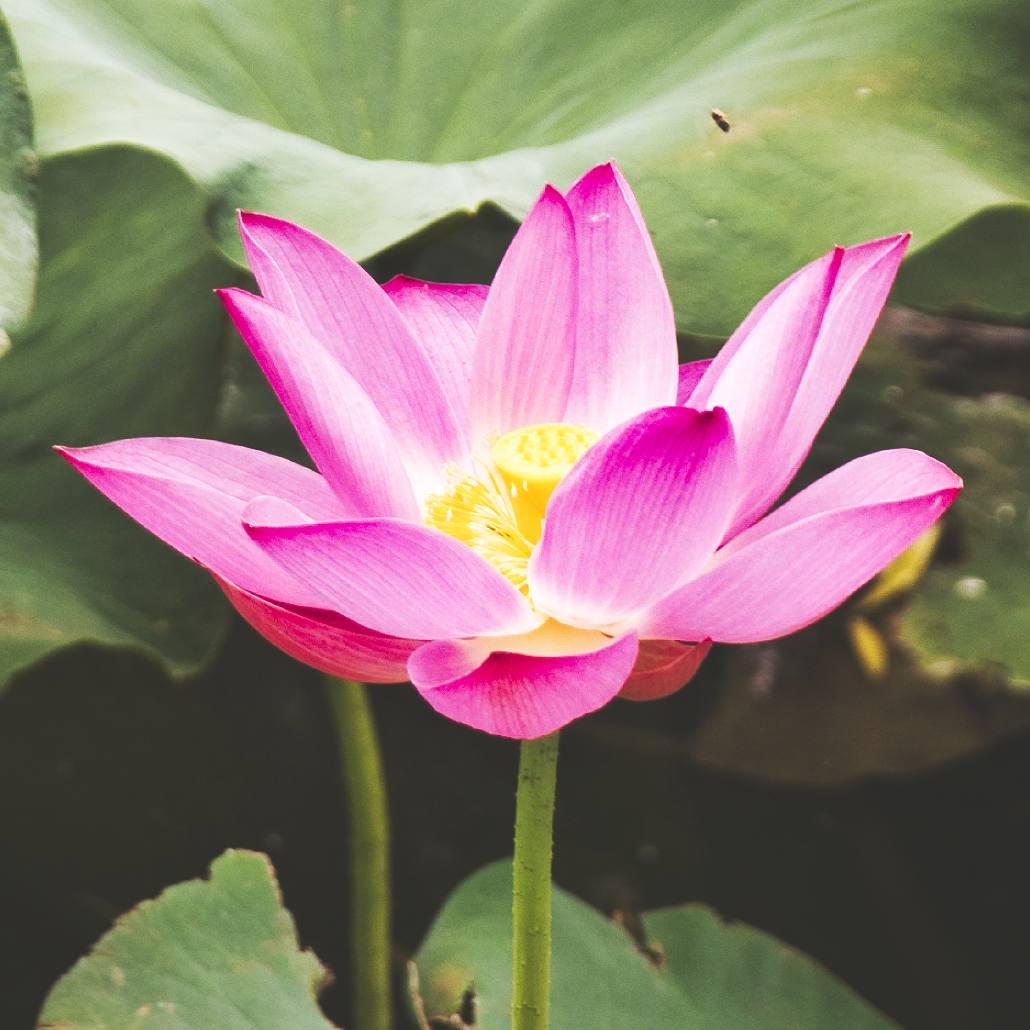 Lotus im Purple Bamboo Park